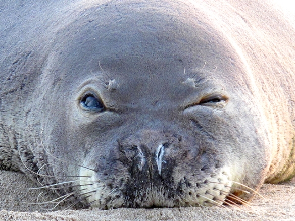 Kermit the Hawaiian Monk Seal